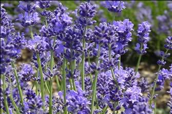 Forum jardin au naturel art floral - Quand couper les fleurs de lavande ...
